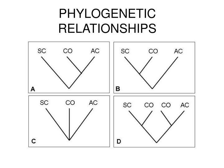 PHYLOGENETIC RELATIONSHIPS