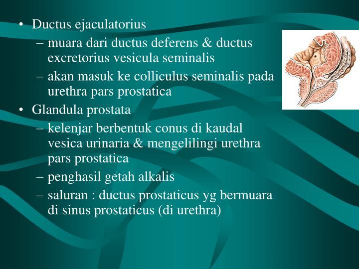 Ductus ejaculatorius