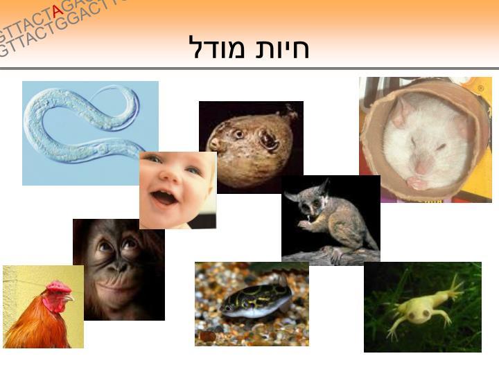 חיות מודל