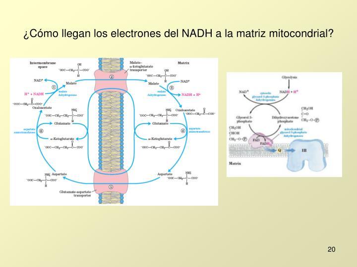 ¿Cómo llegan los electrones del NADH a la matriz mitocondrial?