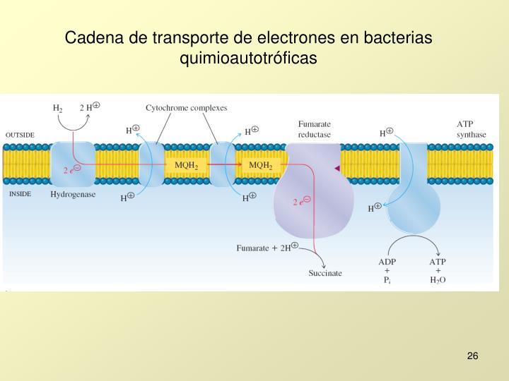 Cadena de transporte de electrones en bacterias quimioautotróficas