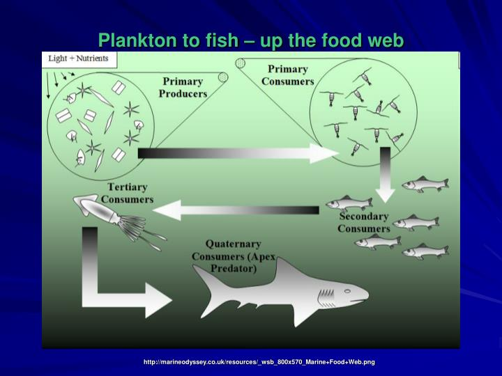 Plankton to fish – up the food web