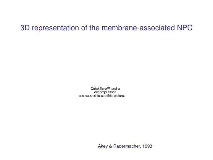 3D representation of the membrane-associated NPC