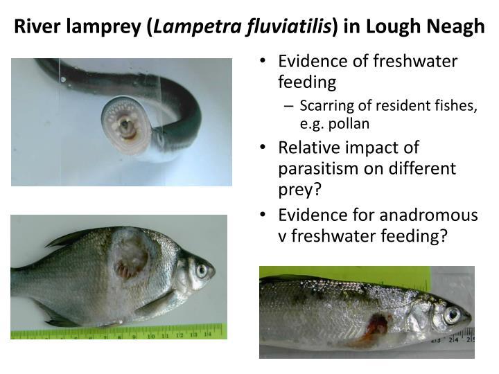 River lamprey (