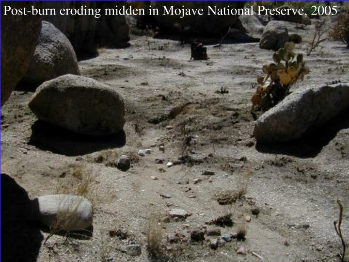 Post-burn eroding midden in Mojave National Preserve, 2005