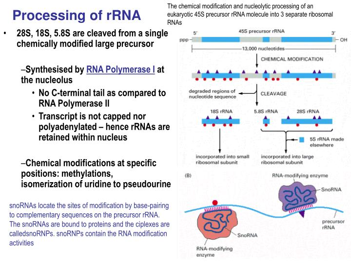 The chemical modification and nucleolytic processing of an eukaryotic 45S precursor rRNA molecule into 3 separate ribosomal RNAs