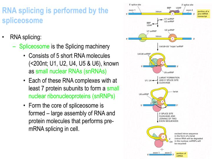 RNA splicing is performed by the spliceosome