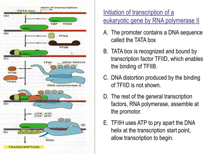 Initiation of transcription of a eukaryotic gene by RNA polymerase II