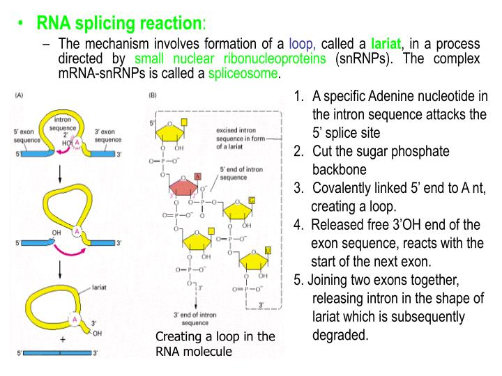 A specific Adenine nucleotide in the intron sequence attacks the 5' splice site