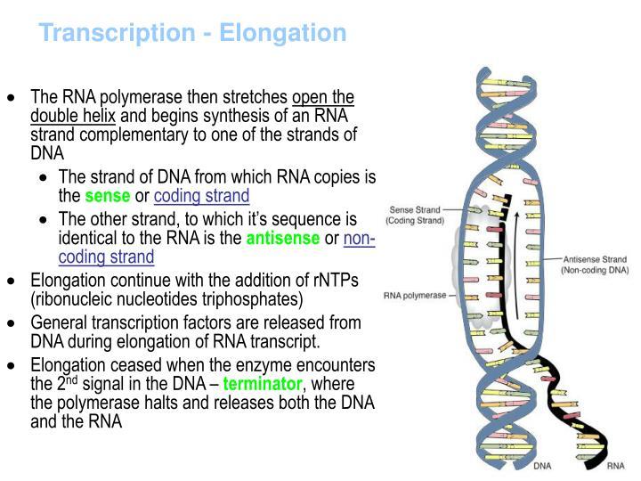 Transcription - Elongation