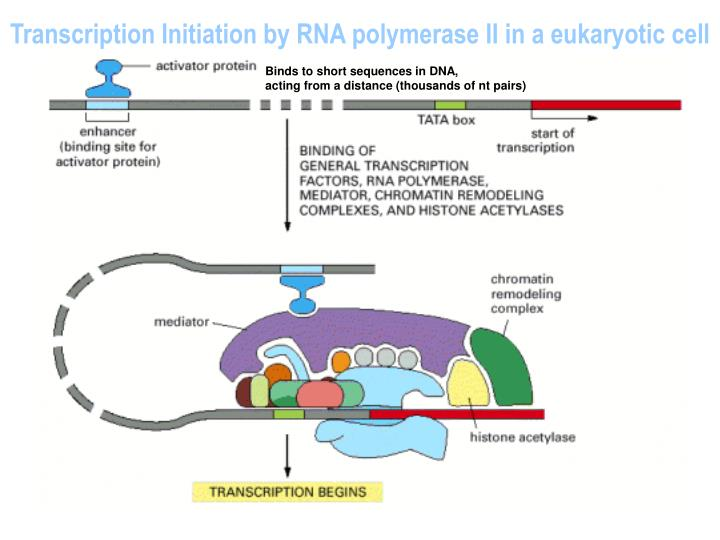 Transcription Initiation by RNA polymerase II in a eukaryotic cell
