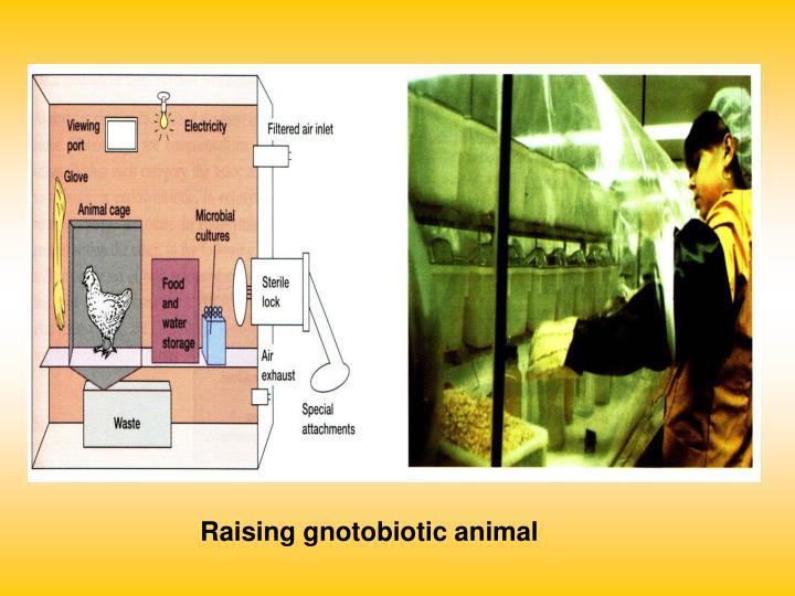 Raising gnotobiotic animal