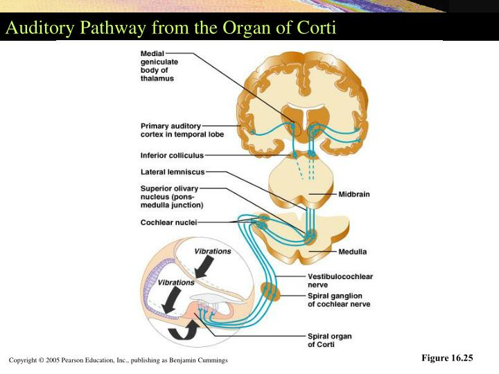 Auditory Pathway from the Organ of Corti