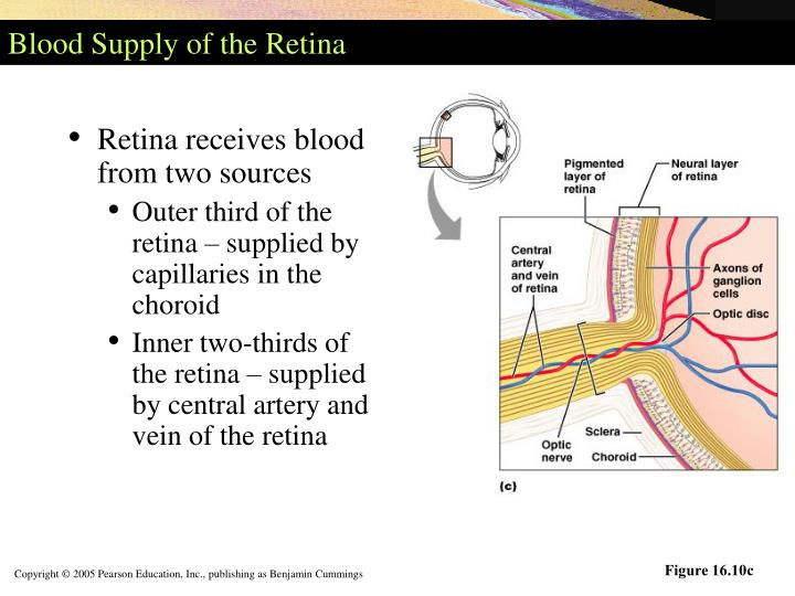 Blood Supply of the Retina