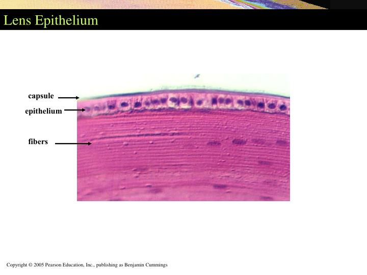 Lens Epithelium