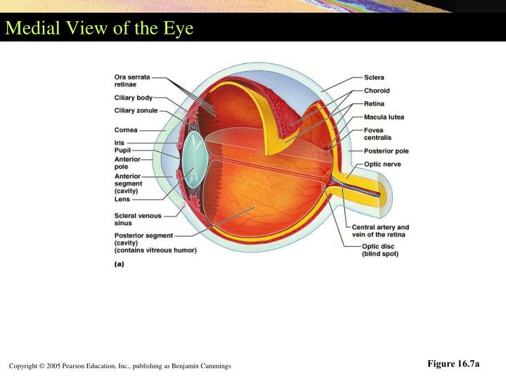 Medial View of the Eye