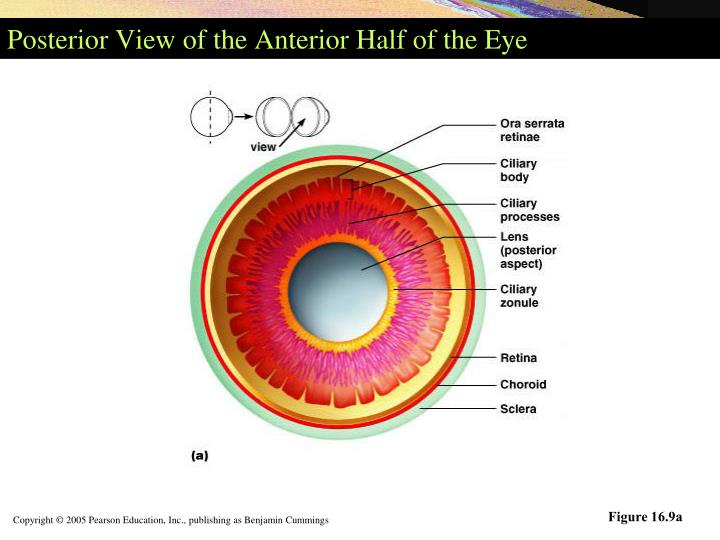 Posterior View of the Anterior Half of the Eye