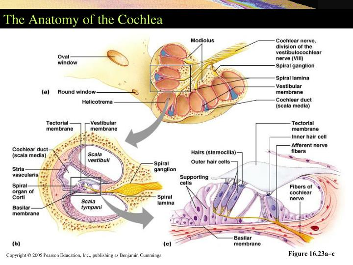 The Anatomy of the Cochlea