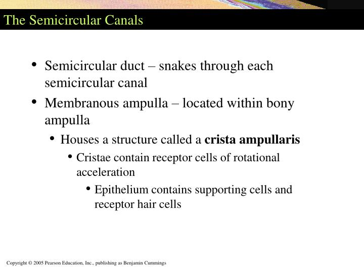 The Semicircular Canals