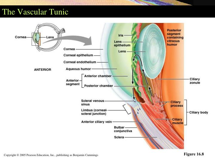 The Vascular Tunic