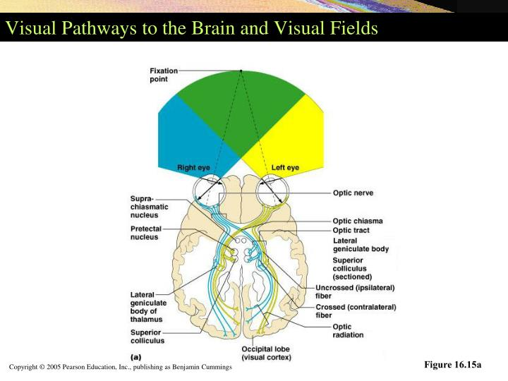 Visual Pathways to the Brain and Visual Fields