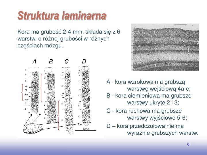 Kora ma grubość 2-4 mm, składa się z 6 warstw, o różnej grubości w różnych częściach mózgu.