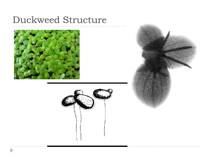 Duckweed Structure