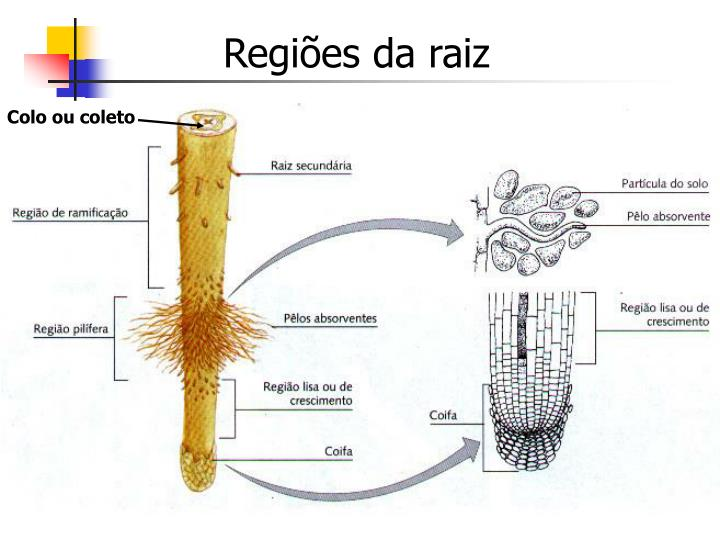 Regiões da raiz