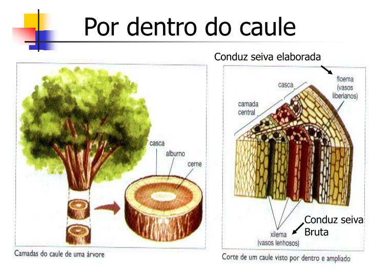 Por dentro do caule