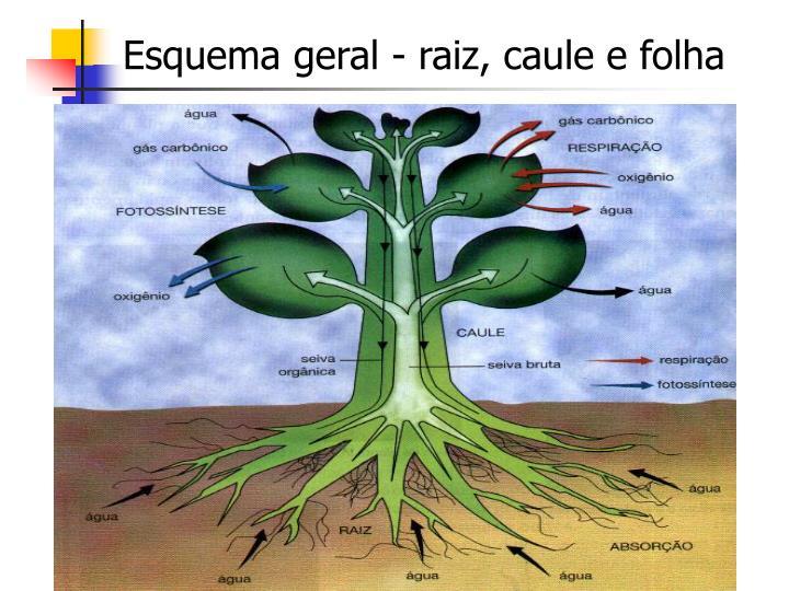 Esquema geral - raiz, caule e folha