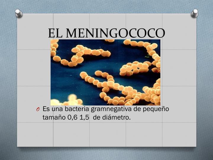 EL MENINGOCOCO
