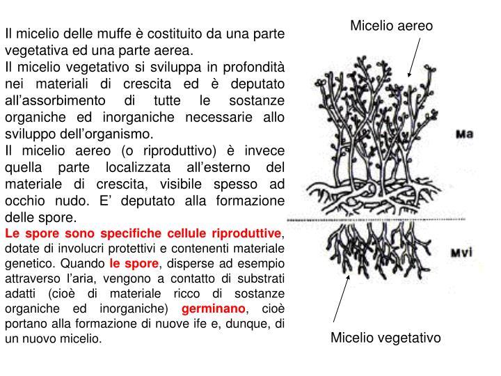 Micelio aereo