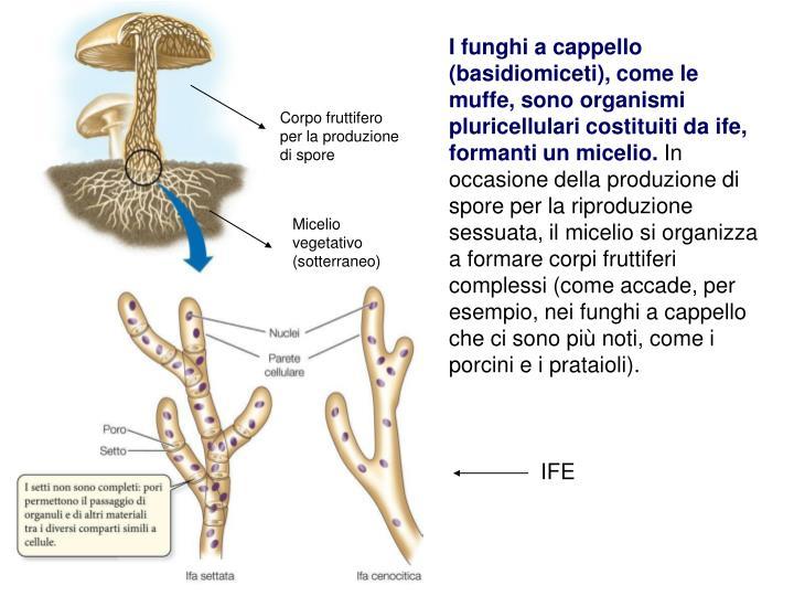 I funghi a cappello (basidiomiceti), come le muffe, sono organismi pluricellulari costituiti da ife, formanti un micelio.