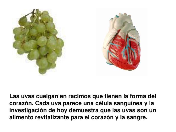 Las uvas cuelgan en racimos que tienen la forma del corazón. Cada uva parece una célula sanguínea y la investigación de hoy demuestra que las uvas son un alimento revitalizante para el corazón y la sangre.