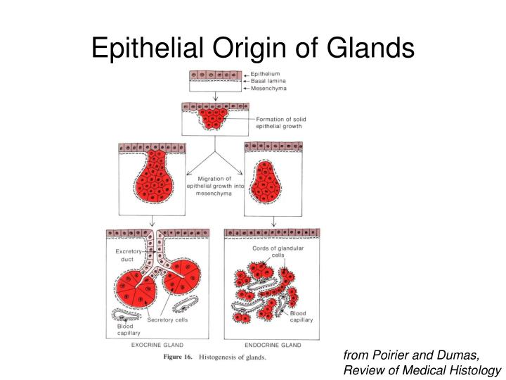 Epithelial Origin of Glands