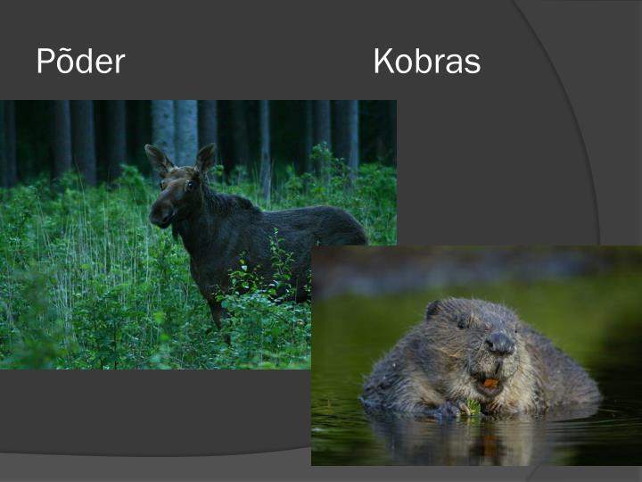 Põder                           Kobras