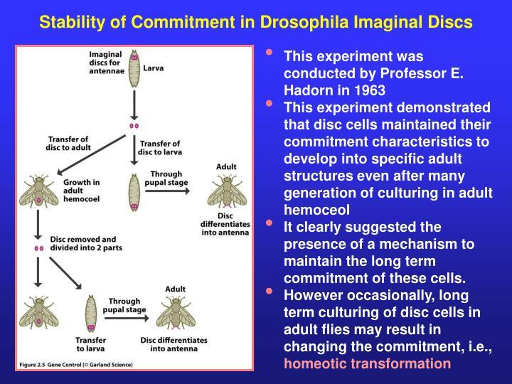Stability of Commitment in Drosophila Imaginal Discs