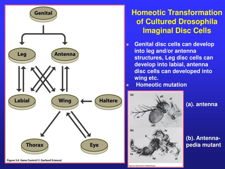 Homeotic Transformation of Cultured Drosophila Imaginal Disc Cells
