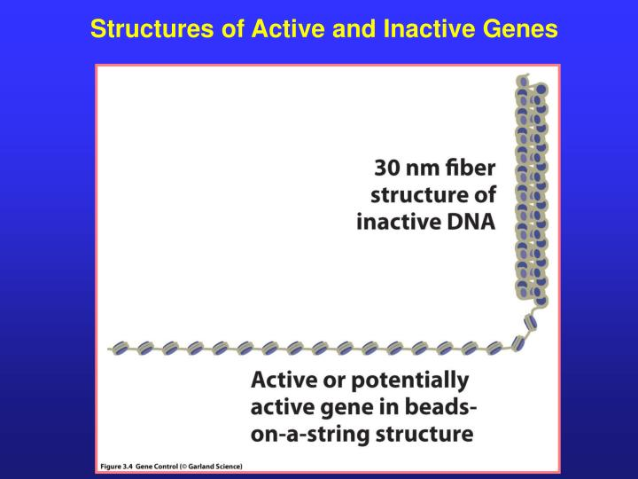 Structures of Active and Inactive Genes