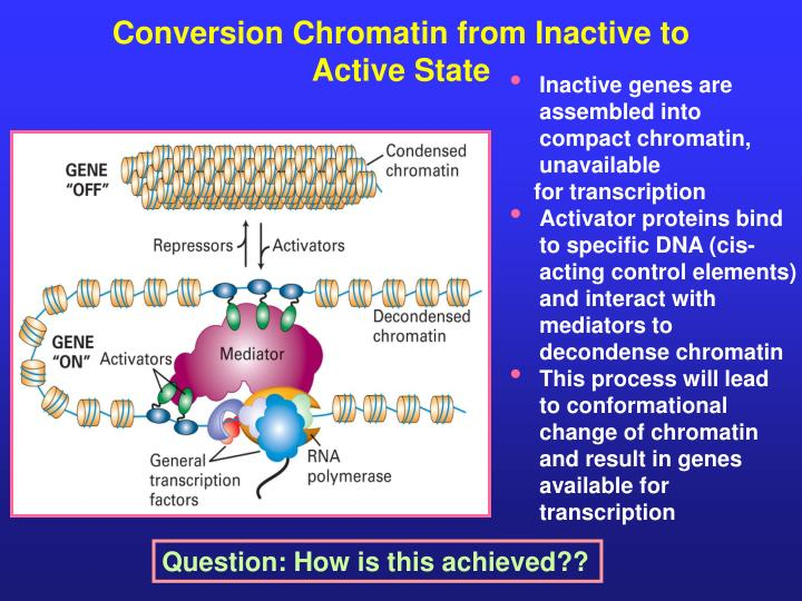 Conversion Chromatin from Inactive to Active State