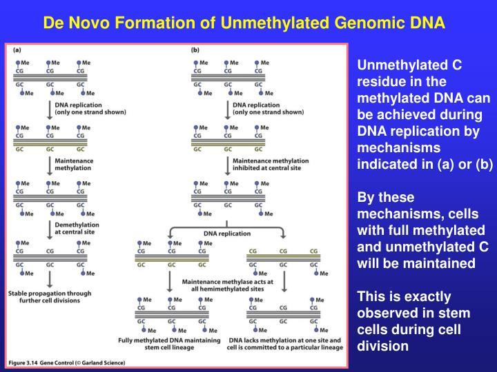 De Novo Formation of Unmethylated Genomic DNA