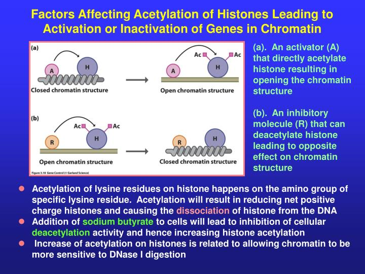Factors Affecting Acetylation of Histones Leading to Activation or Inactivation of Genes in Chromatin