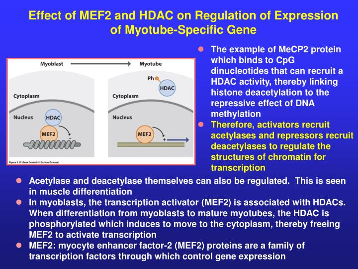 Effect of MEF2 and HDAC on Regulation of Expression of Myotube-Specific Gene