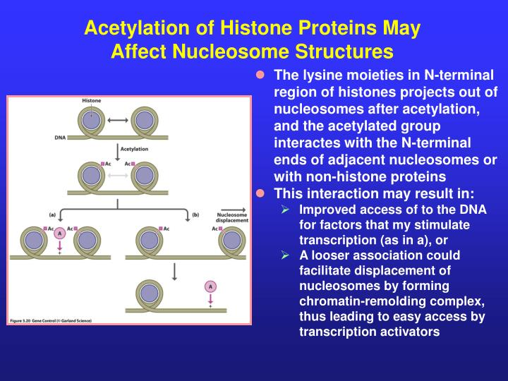 Acetylation of Histone Proteins May Affect Nucleosome Structures