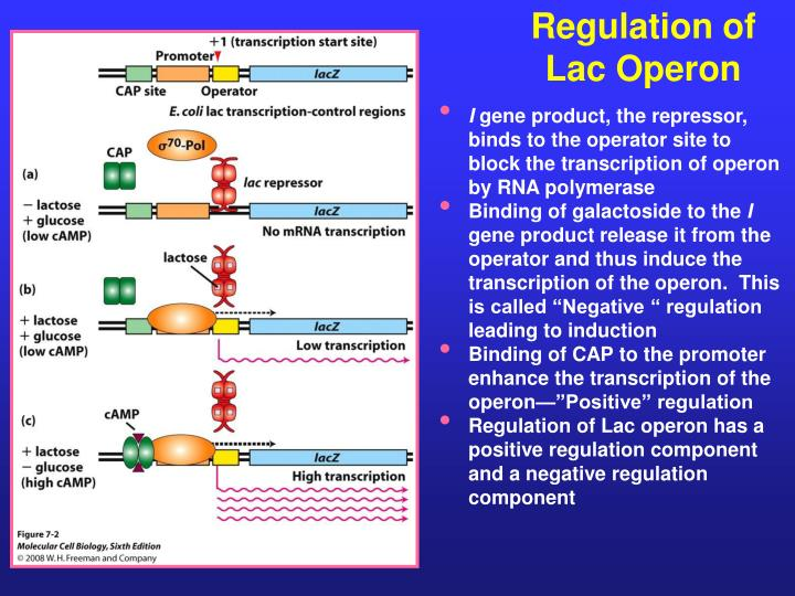 Regulation of Lac Operon