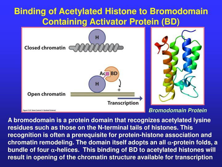 Binding of Acetylated Histone to Bromodomain Containing Activator Protein (BD)