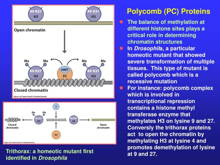 Polycomb (PC) Proteins