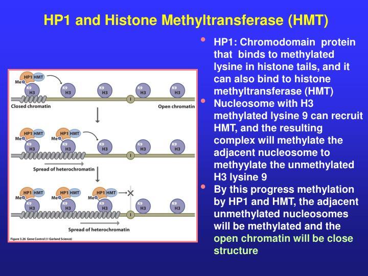 HP1 and Histone Methyltransferase (HMT)