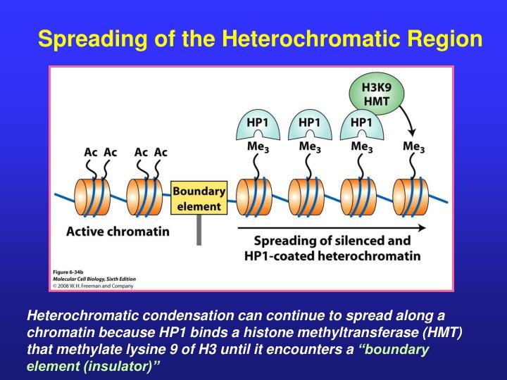 Spreading of the Heterochromatic Region