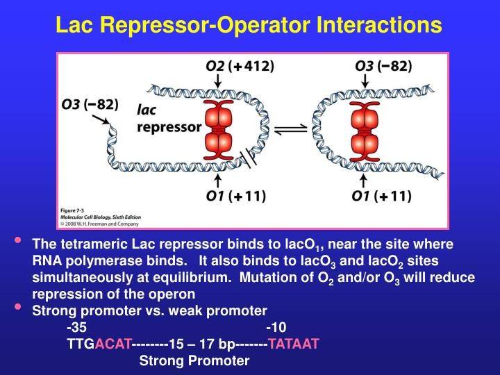 Lac Repressor-Operator Interactions